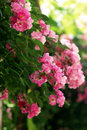 Pink roses flowering bush of small Stock Photos