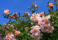 Pink roses in a garden against a blue sky Royalty Free Stock Image