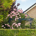 Pink roses growing over gazebo in summer arbour or bower in garden Stock Photo