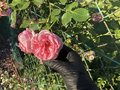 Pink roses with a hand in black gloves