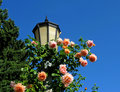 Pink roses on light pole Royalty Free Stock Images
