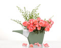 Pink roses in a plastics watering can on table Royalty Free Stock Image