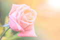 Pink roses in soft light Royalty Free Stock Photo