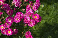 Pink roses stock photo rosebush blooms in the garden Royalty Free Stock Photography