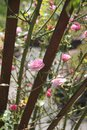 Pink roses on a trellis small Stock Photos