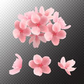 Pink sakura blooming flowers isolated on transparent background. Vector.
