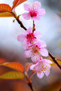 Pink sakura blooming tree in spring with flowers Stock Image
