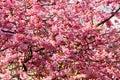 Pink Sakura Blossom Flowers