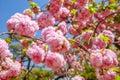 Pink Sakura Cherry Blossom Royalty Free Stock Photo