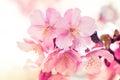 Pink Sakura, Cherry Blossom, is the most beautiful flower