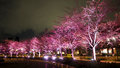 Pink sakura or cherry blossom at night in Roppongi Tokyo Midtown Royalty Free Stock Photo