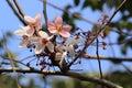 Pink sakura flower close up beautiful cherry blossom Stock Photos