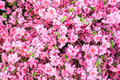 Pink sakura flower closeup fresh beautiful Stock Images