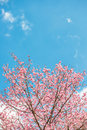 Pink sakura at Thailand Stock Photos