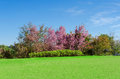 Pink sakura tree and green lawn in outdoor garden Royalty Free Stock Photo