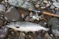 Pink salmon Royalty Free Stock Photo