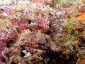Pink Scorpionfish Fiji Royalty Free Stock Photo