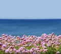 Pink sea thrift flowers also know as armeria maritima overlooking blue ocean and sky Stock Images