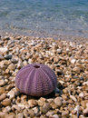 Pink sea urchin Royalty Free Stock Photo