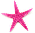 Pink seastar, isolated on white background Royalty Free Stock Photo