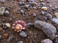 Pink shell on brown sand beach with pebbles. Spiral sea shell on tropical beach. Royalty Free Stock Photo