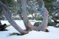 Pink snow gums trunks of stand out from fresh autumn on the bogong high plains victoria australia Stock Image