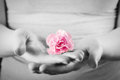 Pink soft flower in woman hands. Spa, protection, care. Royalty Free Stock Photo