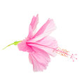 Pink soft Hibiscus flower head is isolated on white background, Royalty Free Stock Photo