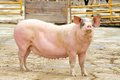 Pink Sow Royalty Free Stock Photo