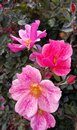 Pink Speckled Striated Simple Rose with Yellow Center