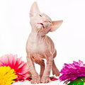 Pink sphinx kitten on white Stock Photos