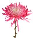 Pink Spider Mum Royalty Free Stock Photo