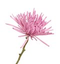 Pink spider mum aster flower isolated white background Royalty Free Stock Photo