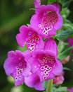 Pink Spotted Foxglove Royalty Free Stock Photo
