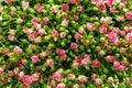 Pink spray roses Royalty Free Stock Photo