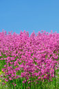 Pink spring flower field with blue sky beautiful feild natural in the background Royalty Free Stock Images