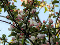 Pink spring flowers on apple branches Royalty Free Stock Photo