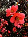 Pink spring flowers time is here first of the season bright and happy colors Royalty Free Stock Photos