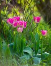 Pink Spring Tulip Flowers in a Garden Royalty Free Stock Photo