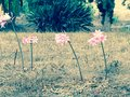 Pink stand tall row of flowers Stock Images