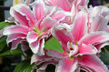 Pink stargazer lily flowers Royalty Free Stock Photo