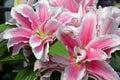 Pink stargazer lily flowers Royalty Free Stock Photo