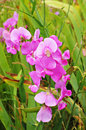 Pink sweat pea flowers on green grass in sunny day Royalty Free Stock Image