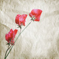 Pink sweet pea flowers aquarelle stylized photo lathyrus odoratus above old paper texture Stock Images