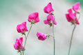 Pink sweet pea flowers lathyrus odoratus above blurred background Royalty Free Stock Photography
