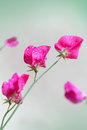 Pink sweet pea flowers lathyrus odoratus above blurred green background Stock Photo