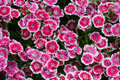 Pink sweet william flowers background Stock Photo