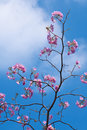 Pink Tabebuia Flower Royalty Free Stock Photo