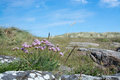 Pink thrift flowers seaside heath with armeria maritima in falkenberg sweden Royalty Free Stock Image