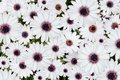Pink tip white daisy background beautiful multiple Royalty Free Stock Photo